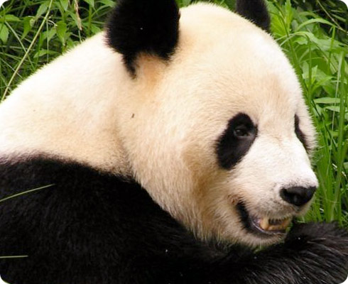 a Giant Panda eating